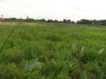 Clusters of Prairie Dock leaves
